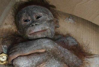 detenysha-orangutana-ispolzovali4